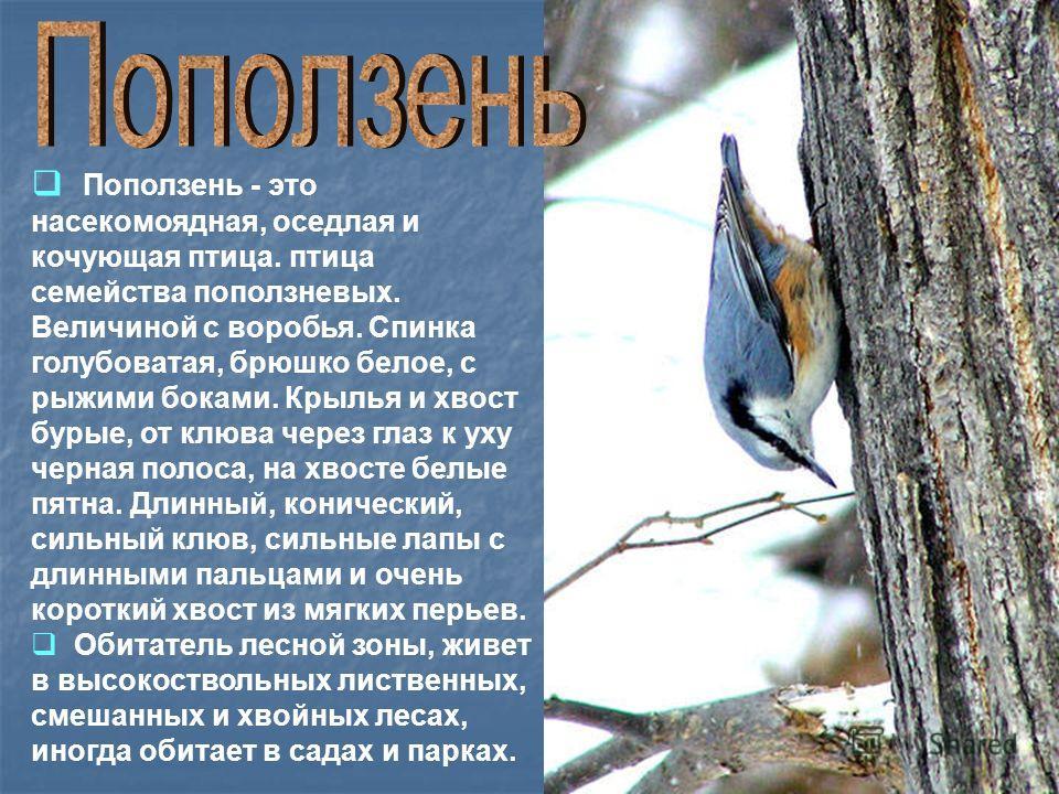 Поползень - это насекомоядная, оседлая и кочующая птица. птица семейства поползневых. Величиной с воробья. Спинка голубоватая, брюшко белое, с рыжими боками. Крылья и хвост бурые, от клюва через глаз к уху черная полоса, на хвосте белые пятна. Длинны