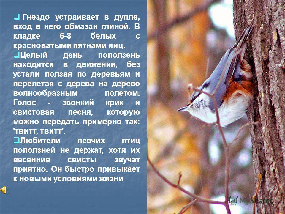 Гнездо устраивает в дупле, вход в него обмазан глиной. В кладке 6-8 белых с красноватыми пятнами яиц. Целый день поползень находится в движении, без устали ползая по деревьям и перелетая с дерева на дерево волнообразным полетом. Голос - звонкий крик
