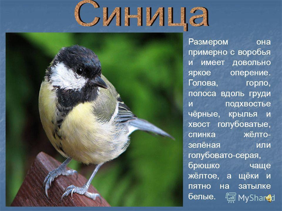 Размером она примерно с воробья и имеет довольно яркое оперение. Голова, горло, полоса вдоль груди и подхвостье чёрные, крылья и хвост голубоватые, спинка жёлто- зелёная или голубовато-серая, брюшко чаще жёлтое, а щёки и пятно на затылке белые.