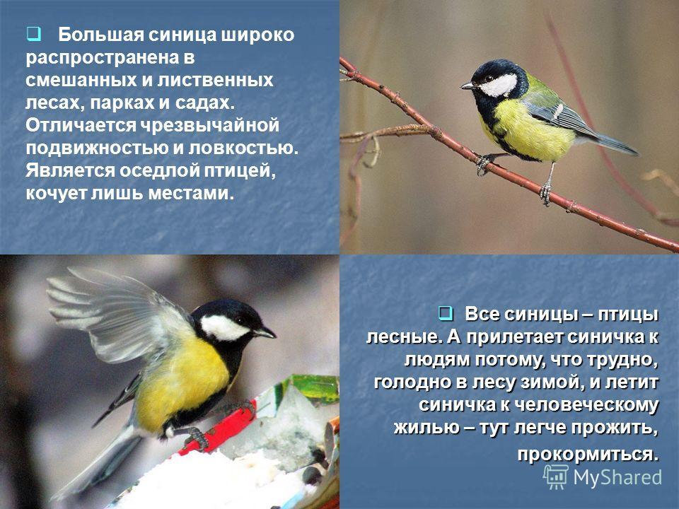 Все синицы – птицы лесные. А прилетает синичка к людям потому, что трудно, голодно в лесу зимой, и летит синичка к человеческому жилью – тут легче прожить, прокормиться. Все синицы – птицы лесные. А прилетает синичка к людям потому, что трудно, голод