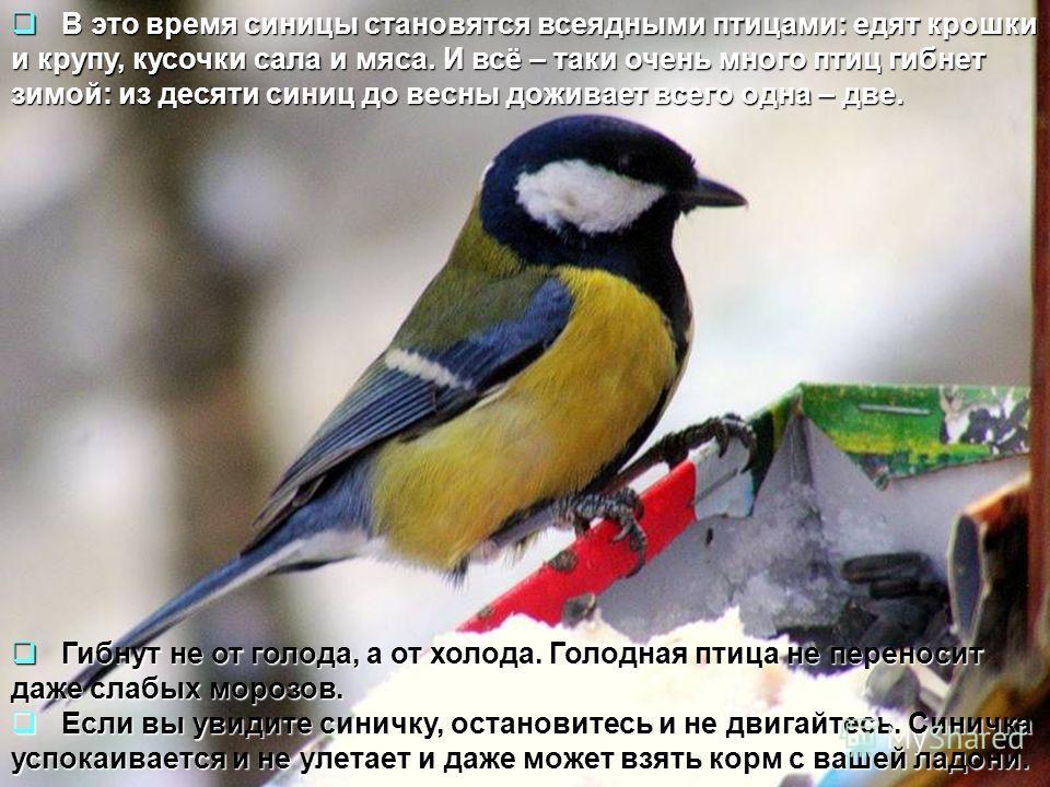 В это время синицы становятся всеядными птицами: едят крошки и крупу, кусочки сала и мяса. И всё – таки очень много птиц гибнет зимой: из десяти синиц до весны доживает всего одна – две. В это время синицы становятся всеядными птицами: едят крошки и