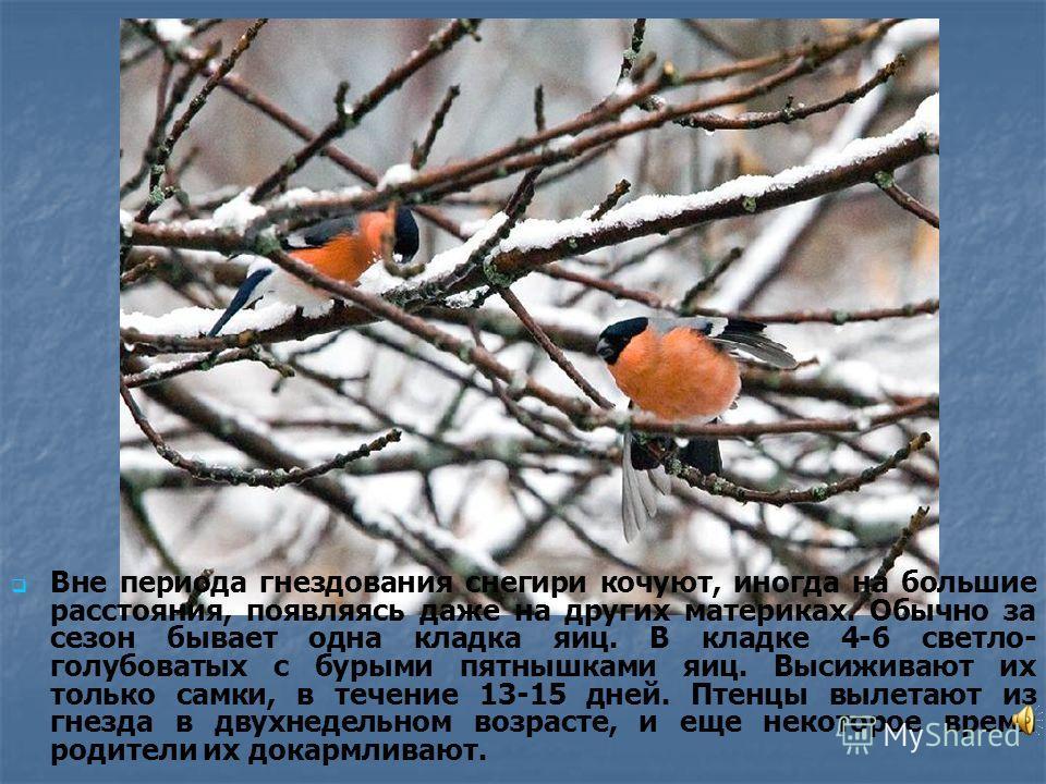Вне периода гнездования снегири кочуют, иногда на большие расстояния, появляясь даже на других материках. Обычно за сезон бывает одна кладка яиц. В кладке 4-6 светло- голубоватых с бурыми пятнышками яиц. Высиживают их только самки, в течение 13-15 дн