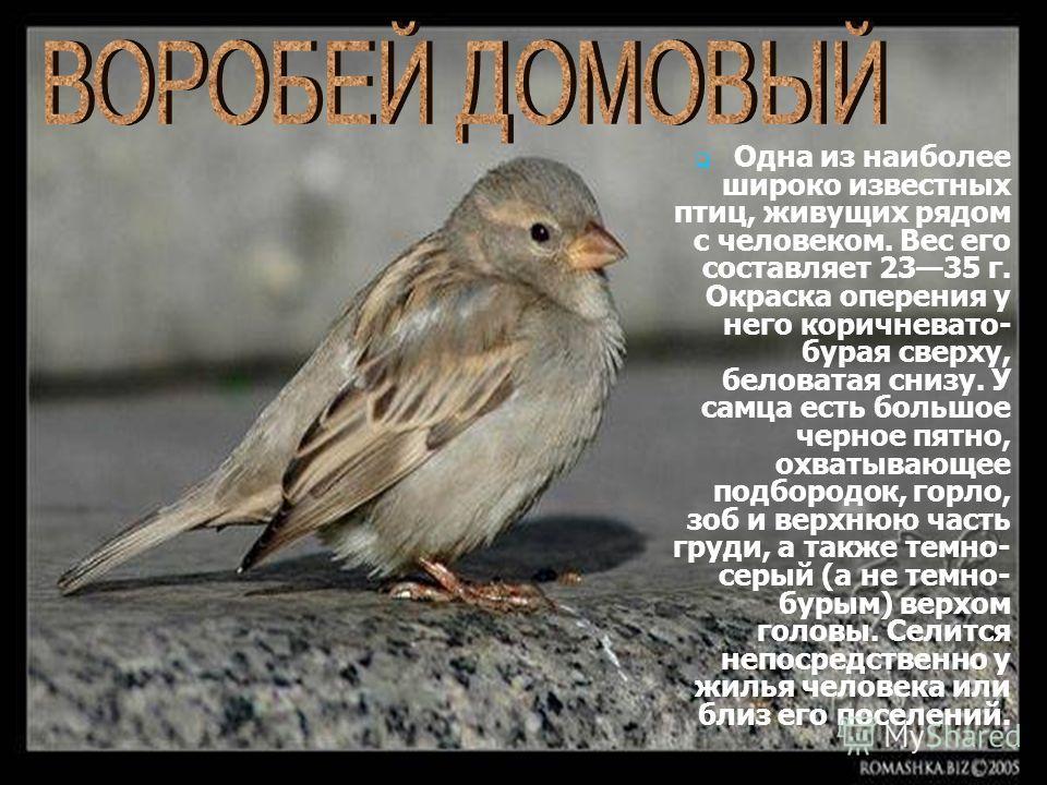 Одна из наиболее широко известных птиц, живущих рядом с человеком. Вес его составляет 2335 г. Окраска оперения у него коричневато- бурая сверху, беловатая снизу. У самца есть большое черное пятно, охватывающее подбородок, горло, зоб и верхнюю часть г