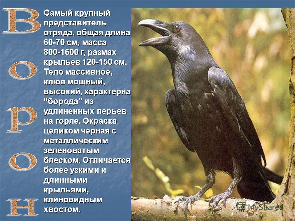 Самый крупный представитель отряда, общая длина 60-70 см, масса 800-1600 г, размах крыльев 120-150 см. Тело массивное, клюв мощный, высокий, характерна борода из удлиненных перьев на горле. Окраска целиком черная с металлическим зеленоватым блеском.