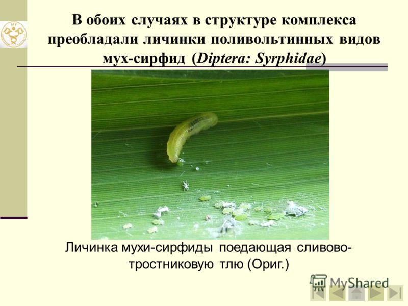 Общий уровень встречаемости энтомофагов в колониях сливово- тростниковой тли (Hyalopterus pruni (Geoffr.)) на тростнике обыкновенном (Phragmites australis (Cav.) Trin. ex Steud.) (Национальный парк «Нарочанский», 2007 г.)
