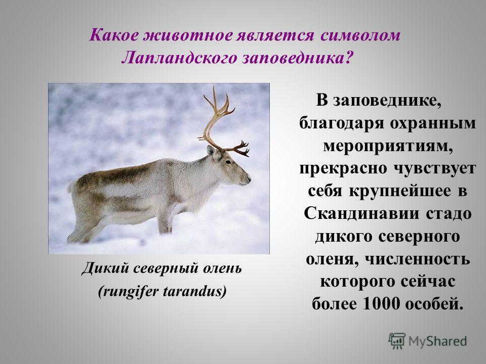 Какое животное является символом Лапландского заповедника? Дикий северный олень (rungifer tarandus) В заповеднике, благодаря охранным мероприятиям, прекрасно чувствует себя крупнейшее в Скандинавии стадо дикого северного оленя, численность которого с