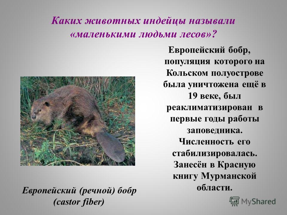 Каких животных индейцы называли «маленькими людьми лесов»? Европейский бобр, популяция которого на Кольском полуострове была уничтожена ещё в 19 веке, был реаклиматизирован в первые годы работы заповедника. Численность его стабилизировалась. Занесён