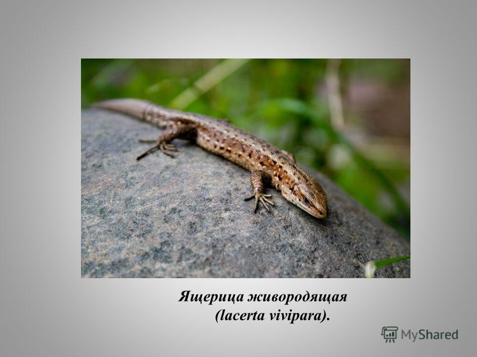 Ящерица живородящая (lacerta vivipara).