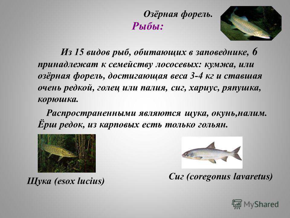 Рыбы: Из 15 видов рыб, обитающих в заповеднике, 6 принадлежат к семейству лососевых: кумжа, или озёрная форель, достигающая веса 3-4 кг и ставшая очень редкой, голец или палия, сиг, хариус, ряпушка, корюшка. Распространенными являются щука, окунь,нал
