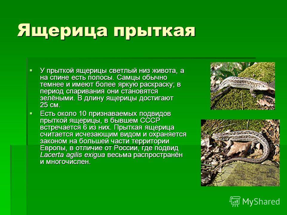 Ящерица прыткая У прыткой ящерицы светлый низ живота, а на спине есть полосы. Самцы обычно темнее и имеют более яркую раскраску; в период спаривания они становятся зелёными. В длину ящерицы достигают 25 см. У прыткой ящерицы светлый низ живота, а на
