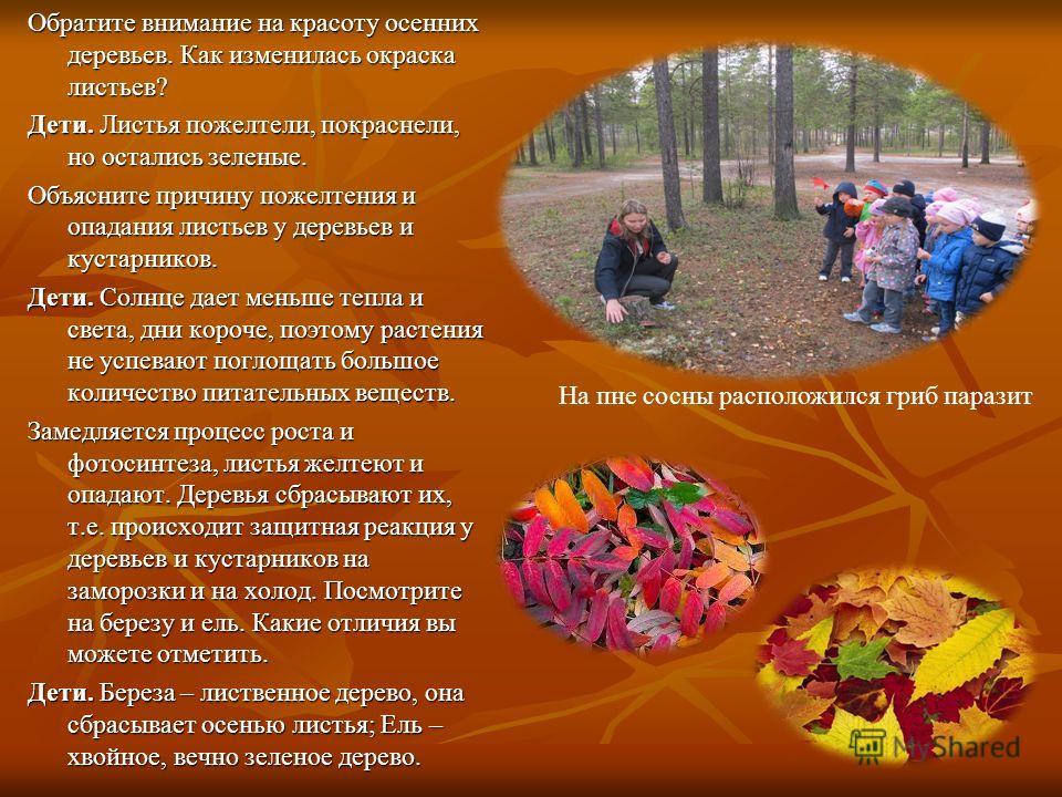 Обратите внимание на красоту осенних деревьев. Как изменилась окраска листьев? Дети. Листья пожелтели, покраснели, но остались зеленые. Объясните причину пожелтения и опадания листьев у деревьев и кустарников. Дети. Солнце дает меньше тепла и света,