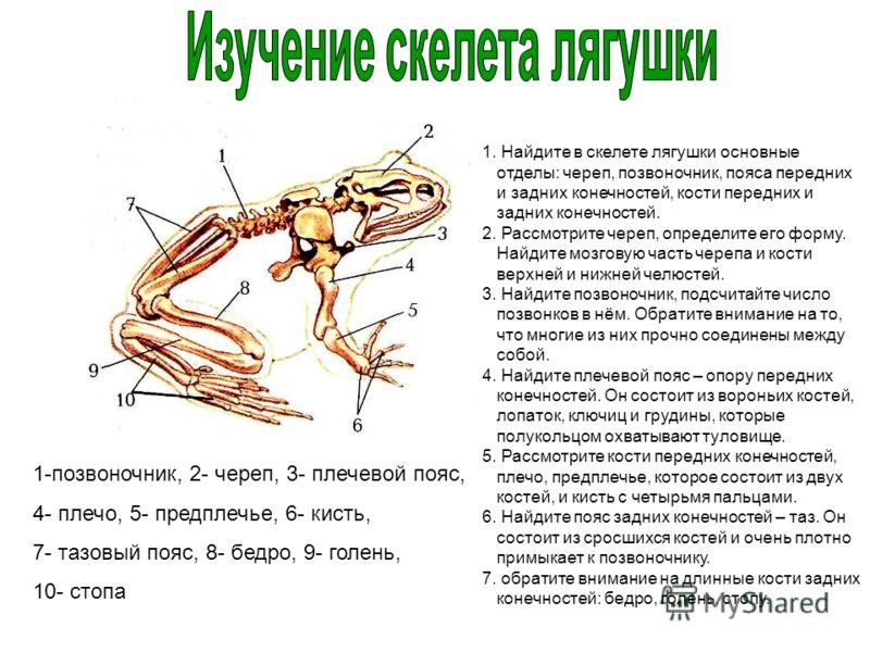 1-позвоночник, 2- череп, 3- плечевой пояс, 4- плечо, 5- предплечье, 6- кисть, 7- тазовый пояс, 8- бедро, 9- голень, 10- стопа 1. Найдите в скелете лягушки основные отделы: череп, позвоночник, пояса передних и задних конечностей, кости передних и задн