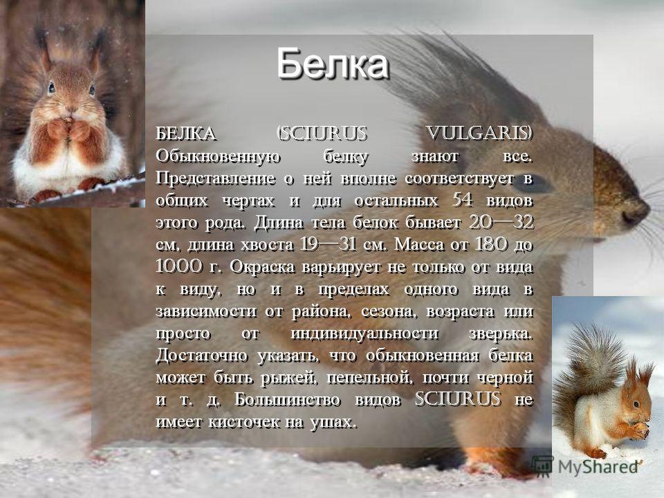 БелкаБелка БЕЛКА (Sciurus vulgaris) Обыкновенную белку знают все. Представление о ней вполне соответствует в общих чертах и для остальных 54 видов этого рода. Длина тела белок бывает 2032 см, длина хвоста 1931 см. Масса от 180 до 1000 г. Окраска варь