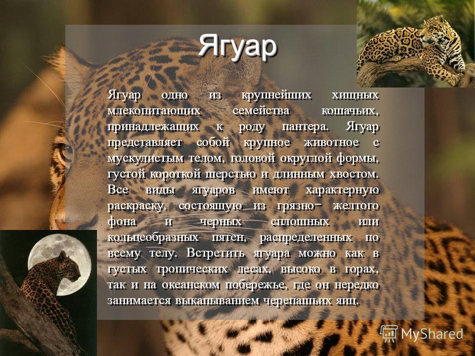 ЯгуарЯгуар Ягуар одно из крупнейших хищных млекопитающих семейства кошачьих, принадлежащих к роду пантера. Ягуар представляет собой крупное животное с мускулистым телом, головой округлой формы, густой короткой шерстью и длинным хвостом. Все виды ягуа