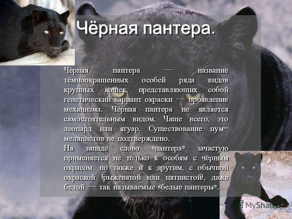 Чёрнаяпантера Чёрная пантера. Чёрная пантера название тёмноокрашенных особей ряда видов крупных кошек, представляющих собой генетический вариант окраски проявление механизма. Чёрная пантера не является самостоятельным видом. Чаще всего, это леопард и