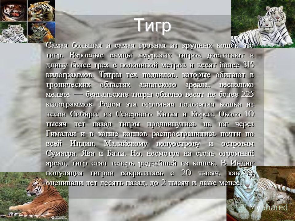 Тигр Самая большая и самая грозная из крупных кошек это тигр. Взрослые самцы амурских тигров достигают в длину более трех с половиной метров и весят более 315 килограммов. Тигры тех подвидов, которые обитают в тропических областях азиатского ареала,