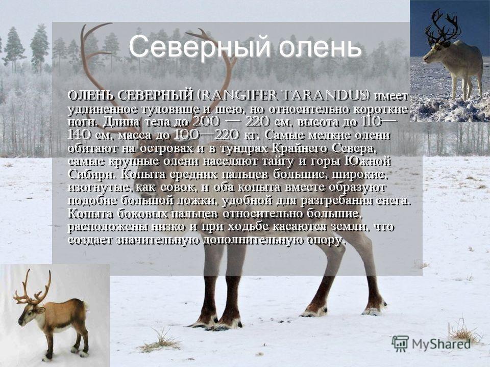 Северный олень ОЛЕНЬ СЕВЕРНЫЙ (Rangifer tarandus) имеет удлиненное туловище и шею, но относительно короткие ноги. Длина тела до 200 220 см, высота до 110 140 см, масса до 100220 кг. Самые мелкие олени обитают на островах и в тундрах Крайнего Севера,