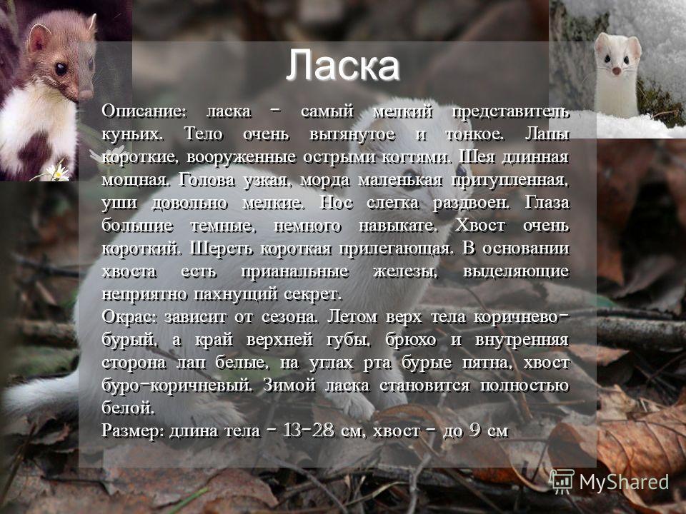 Ласка Описание : ласка - самый мелкий представитель куньих. Тело очень вытянутое и тонкое. Лапы короткие, вооруженные острыми когтями. Шея длинная мощная. Голова узкая, морда маленькая притупленная, уши довольно мелкие. Нос слегка раздвоен. Глаза бол