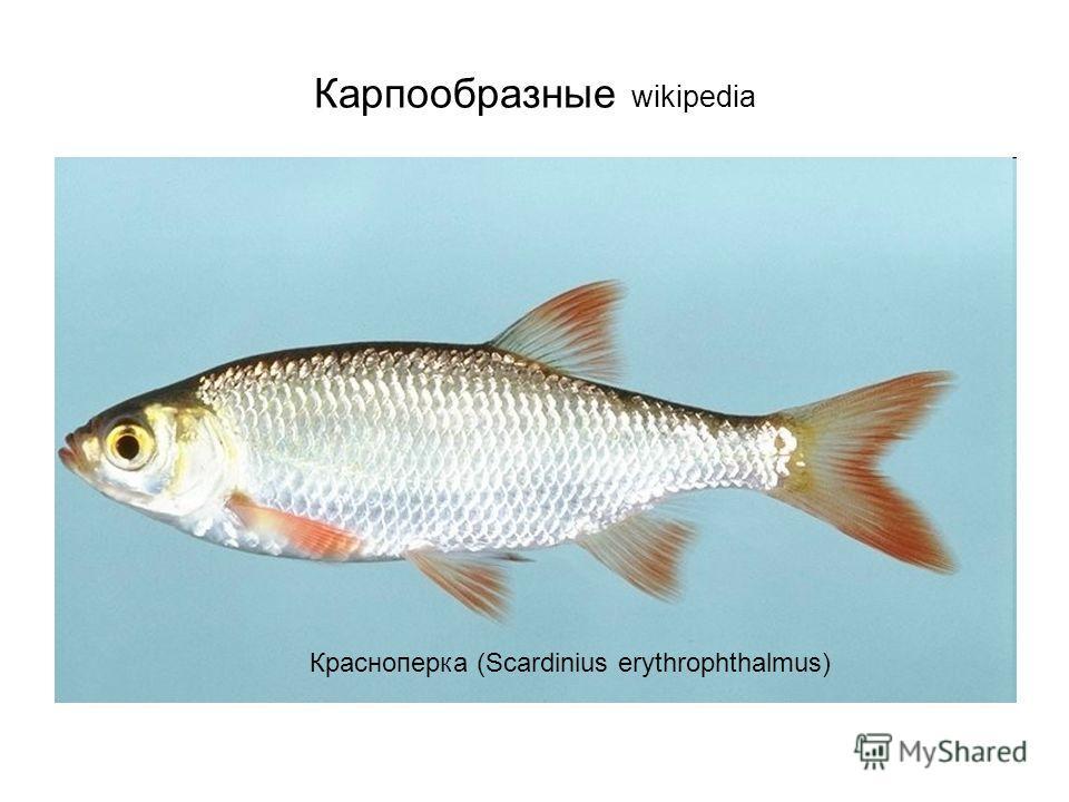Карпообразные wikipedia Красноперка (Scardinius erythrophthalmus)