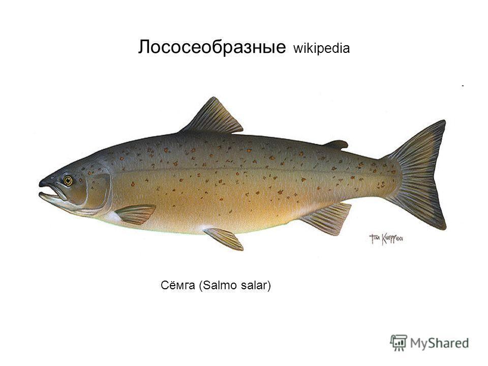 Лососеобразные wikipedia Сёмга (Salmo salar)