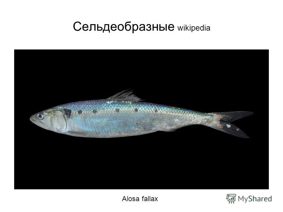 Сельдеобразные wikipedia Alosa fallax