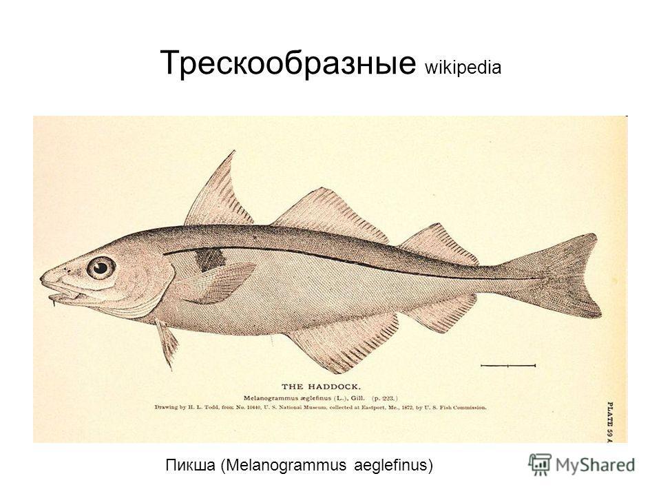 Трескообразные wikipedia Пикша (Melanogrammus aeglefinus)