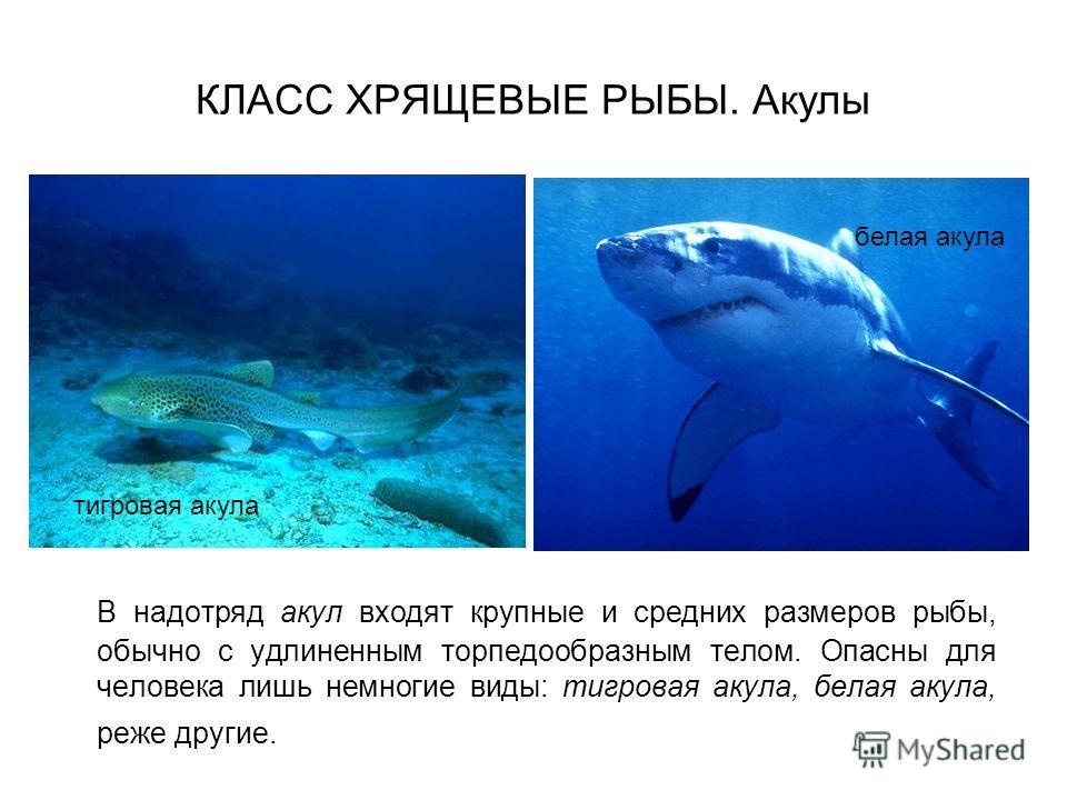 КЛАСС ХРЯЩЕВЫЕ РЫБЫ. Акулы В надотряд акул входят крупные и средних размеров рыбы, обычно с удлиненным торпедообразным телом. Опасны для человека лишь немногие виды: тигровая акула, белая акула, реже другие. тигровая акула белая акула