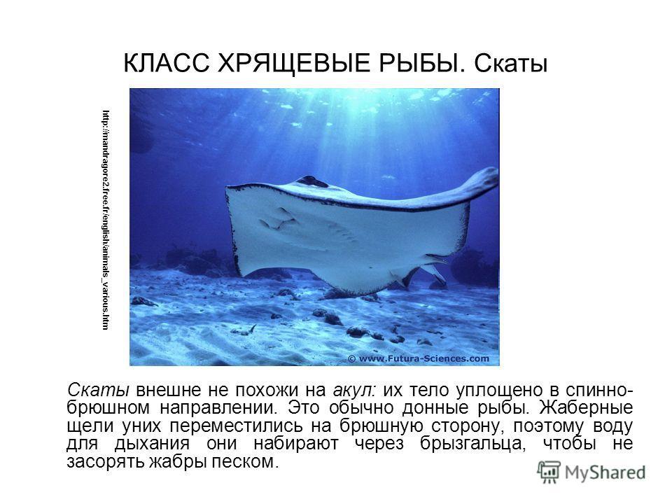 КЛАСС ХРЯЩЕВЫЕ РЫБЫ. Скаты Скаты внешне не похожи на акул: их тело уплощено в спинно брюшном направлении. Это обычно донные рыбы. Жаберные щели уних переместились на брюшную сторону, поэтому воду для дыхания они набирают через брызгальца, чтобы не з