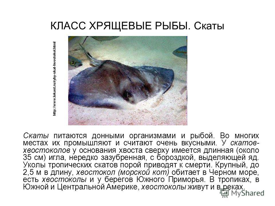 КЛАСС ХРЯЩЕВЫЕ РЫБЫ. Скаты Скаты питаются донными организмами и рыбой. Во многих местах их промышляют и считают очень вкусными. У скатов- хвостоколов у основания хвоста сверху имеется длинная (около 35 см) игла, нередко зазубренная, с бороздкой, выде