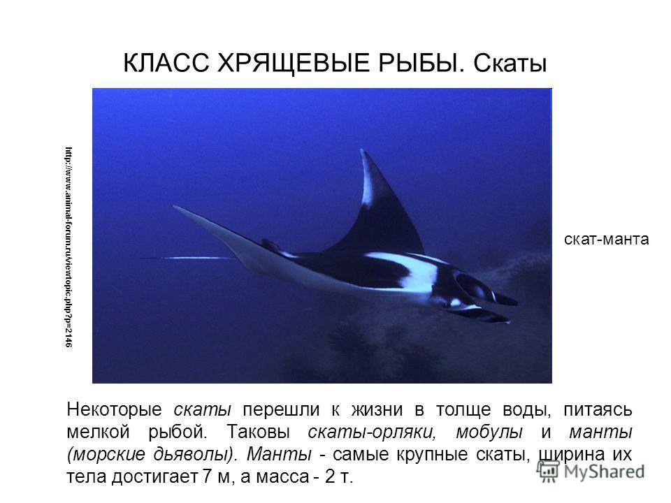 Некоторые скаты перешли к жизни в толще воды, питаясь мелкой рыбой. Таковы скаты-орляки, мобулы и манты (морские дьяволы). Манты - самые крупные скаты, ширина их тела достигает 7 м, а масса - 2 т. http://www.animal-forum.ru/viewtopic.php?p=2146 скат-