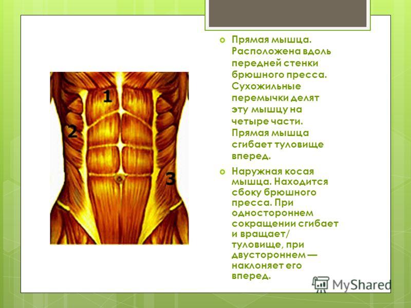 Прямая мышца. Расположена вдоль передней стенки брюшного пресса. Сухожильные перемычки делят эту мышцу на четыре части. Прямая мышца сгибает туловище вперед. Наружная косая мышца. Находится сбоку брюшного пресса. При одностороннем сокращении сгибает