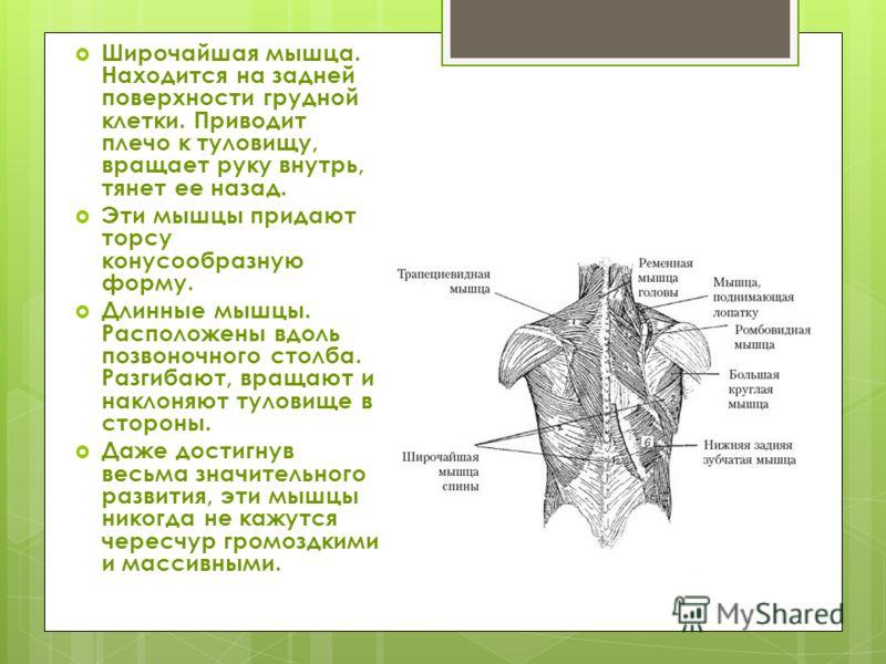 Широчайшая мышца. Находится на задней поверхности грудной клетки. Приводит плечо к туловищу, вращает руку внутрь, тянет ее назад. Эти мышцы придают торсу конусообразную форму. Длинные мышцы. Расположены вдоль позвоночного столба. Разгибают, вращают и