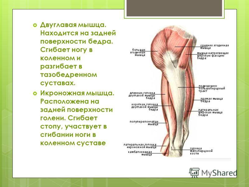 Двуглавая мышца. Находится на задней поверхности бедра. Сгибает ногу в коленном и разгибает в тазобедренном суставах. Икроножная мышца. Расположена на задней поверхности голени. Сгибает стопу, участвует в сгибании ноги в коленном суставе
