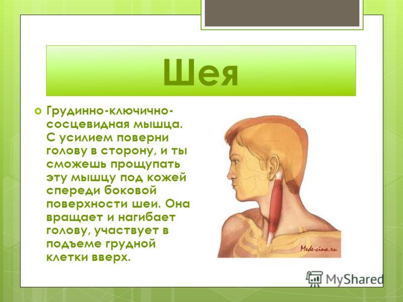 Шея Грудинно-ключично- сосцевидная мышца. С усилием поверни голову в сторону, и ты сможешь прощупать эту мышцу под кожей спереди боковой поверхности шеи. Она вращает и нагибает голову, участвует в подъеме грудной клетки вверх.