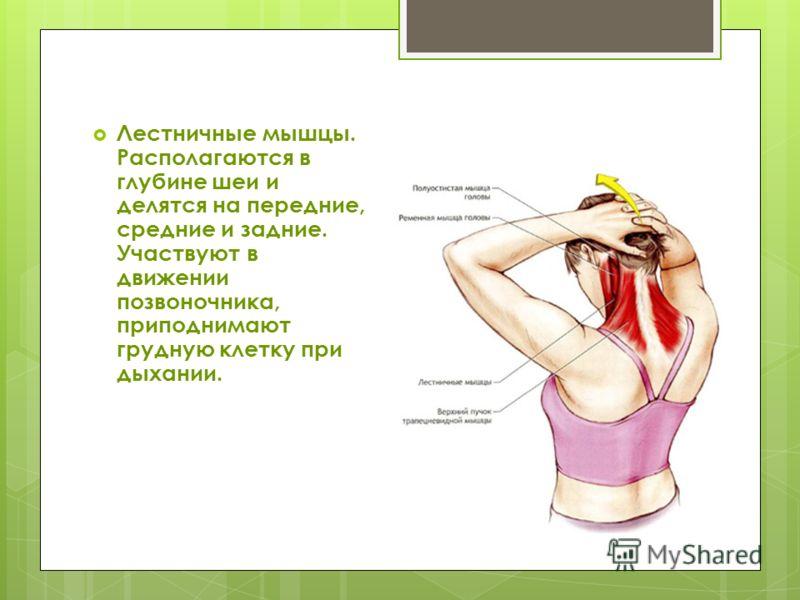 Лестничные мышцы. Располагаются в глубине шеи и делятся на передние, средние и задние. Участвуют в движении позвоночника, приподнимают грудную клетку при дыхании.