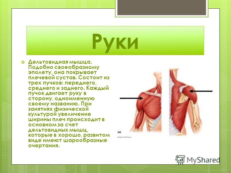 Руки Дельтовидная мышца. Подобно своеобразному эполету, она покрывает плечевой сустав. Состоит из трех пучков: переднего, среднего и заднего. Каждый пучок двигает руку в сторону, одноименную своему названию. При занятиях физической культурой увеличен