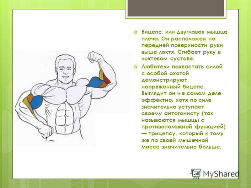 Бицепс, или двуглавая мышца плеча. Он расположен на передней поверхности руки выше локтя. Сгибает руку в локтевом суставе. Любители похвастать силой с особой охотой демонстрируют напряженный бицепс. Выглядит он и в самом деле эффектно, хотя по силе з