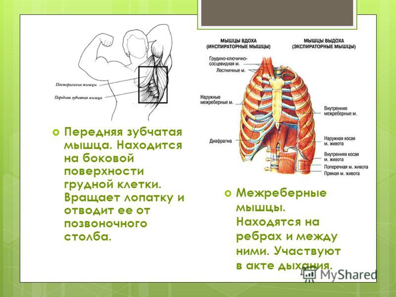 Передняя зубчатая мышца. Находится на боковой поверхности грудной клетки. Вращает лопатку и отводит ее от позвоночного столба. Межреберные мышцы. Находятся на ребрах и между ними. Участвуют в акте дыхания.