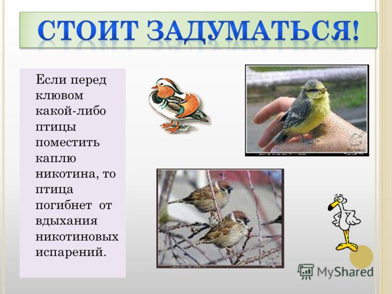 Если перед клювом какой-либо птицы поместить каплю никотина, то птица погибнет от вдыхания никотиновых испарений.