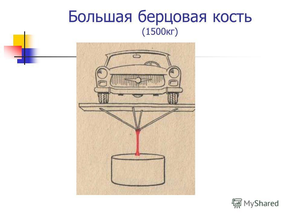 Большая берцовая кость (1500кг)