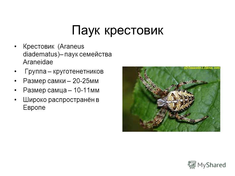 Паук крестовик Крестовик (Araneus diadematus)– паук семейства Araneidae Группа – круготенетников Размер самки – 20-25мм Размер самца – 10-11мм Широко распространён в Европе