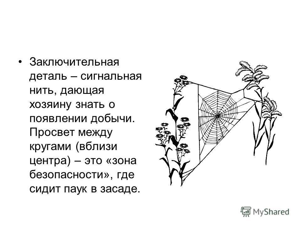 Заключительная деталь – сигнальная нить, дающая хозяину знать о появлении добычи. Просвет между кругами (вблизи центра) – это «зона безопасности», где сидит паук в засаде.