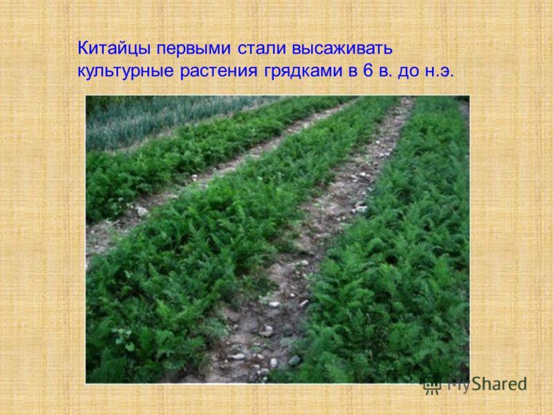 Китайцы первыми стали высаживать культурные растения грядками в 6 в. до н.э.