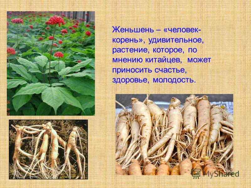 Женьшень – «человек- корень», удивительное, растение, которое, по мнению китайцев, может приносить счастье, здоровье, молодость.