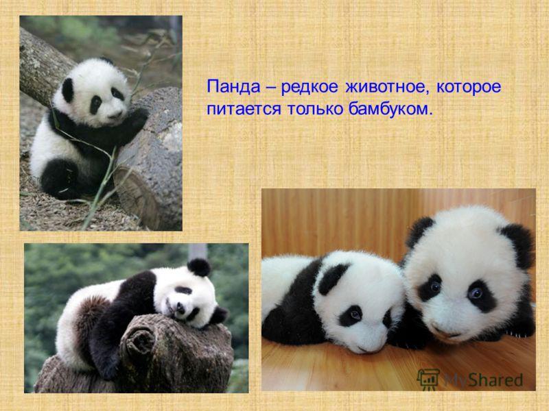 Панда – редкое животное, которое питается только бамбуком.