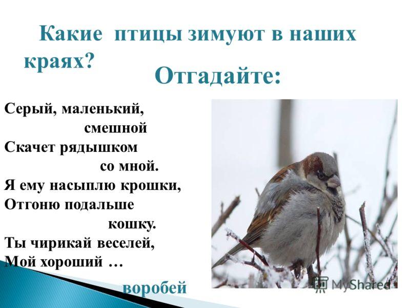Отгадайте: Какие птицы зимуют в наших краях? Серый, маленький, смешной Скачет рядышком со мной. Я ему насыплю крошки, Отгоню подальше кошку. Ты чирикай веселей, Мой хороший … воробей