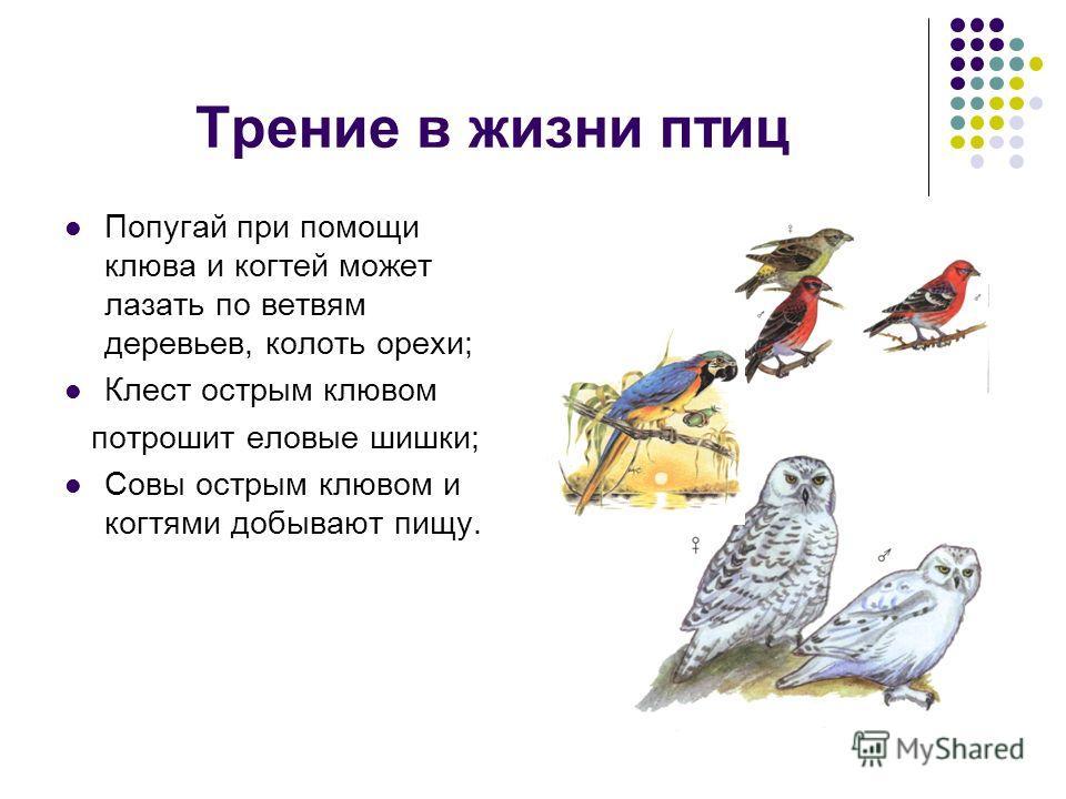 Трение в жизни птиц Попугай при помощи клюва и когтей может лазать по ветвям деревьев, колоть орехи; Клест острым клювом потрошит еловые шишки; Совы острым клювом и когтями добывают пищу.