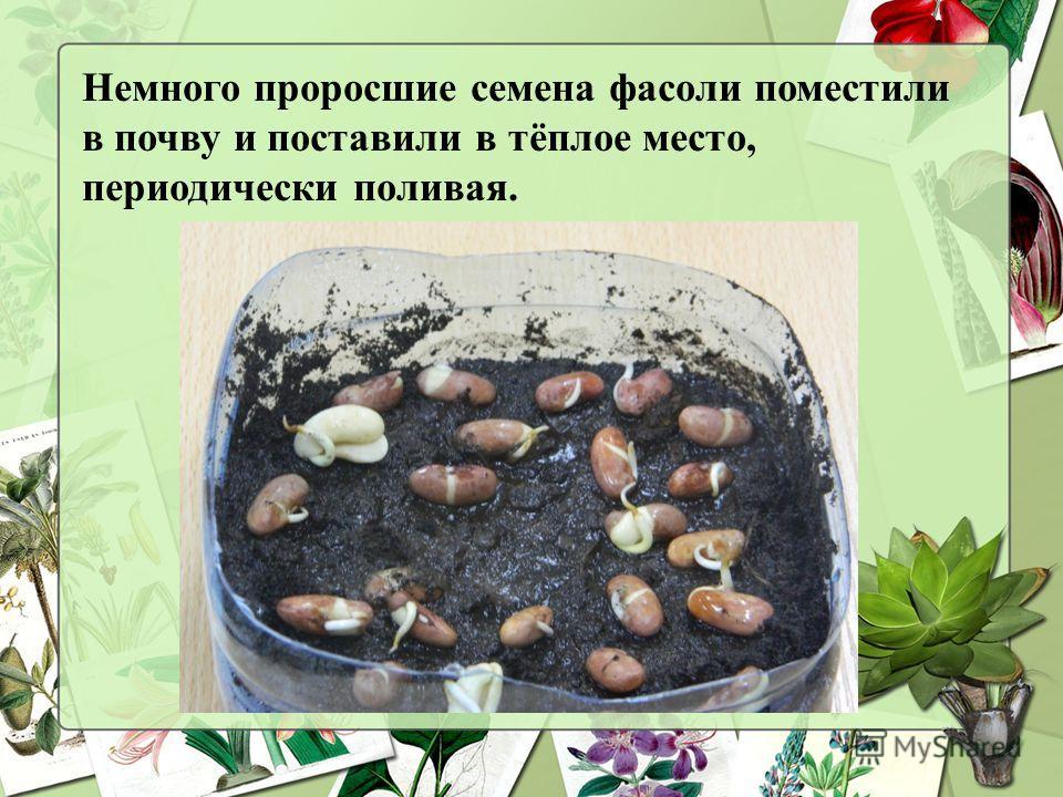 Немного проросшие семена фасоли поместили в почву и поставили в тёплое место, периодически поливая.