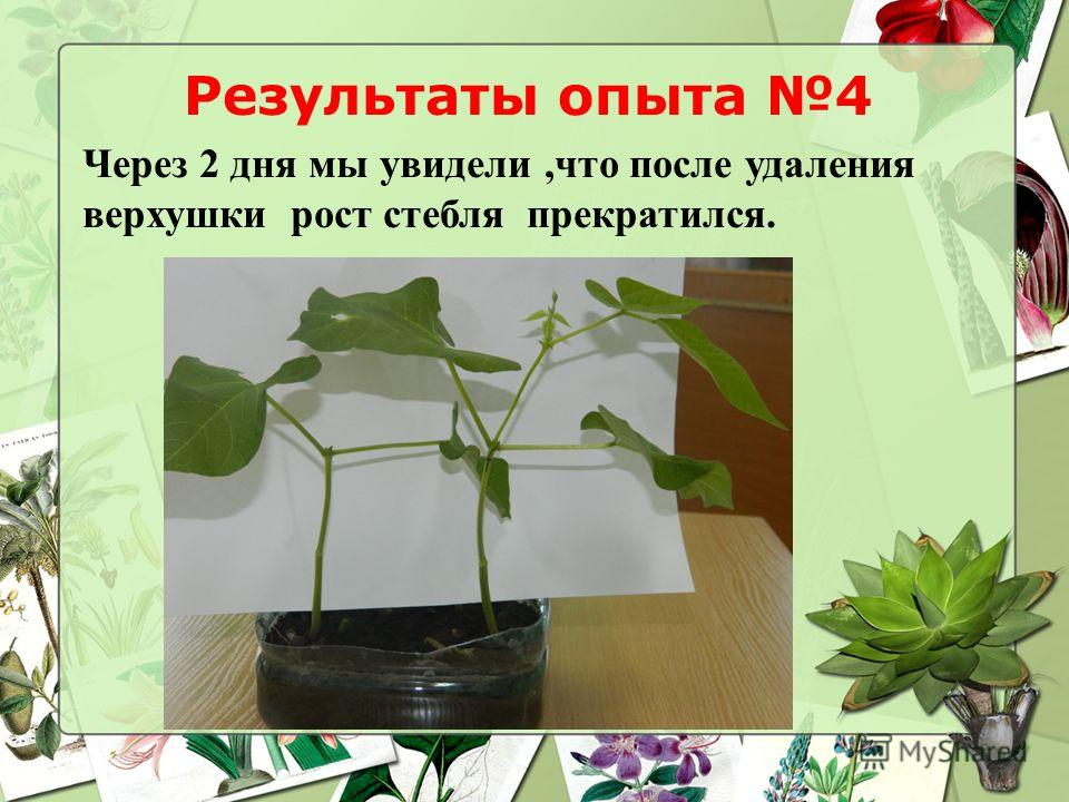 Результаты опыта 4 Через 2 дня мы увидели,что после удаления верхушки рост стебля прекратился.
