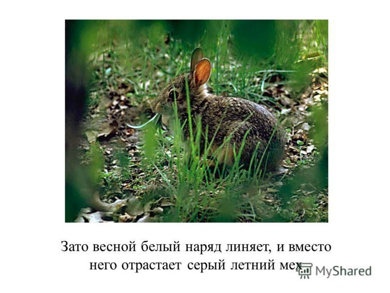 Зато весной белый наряд линяет, и вместо него отрастает серый летний мех